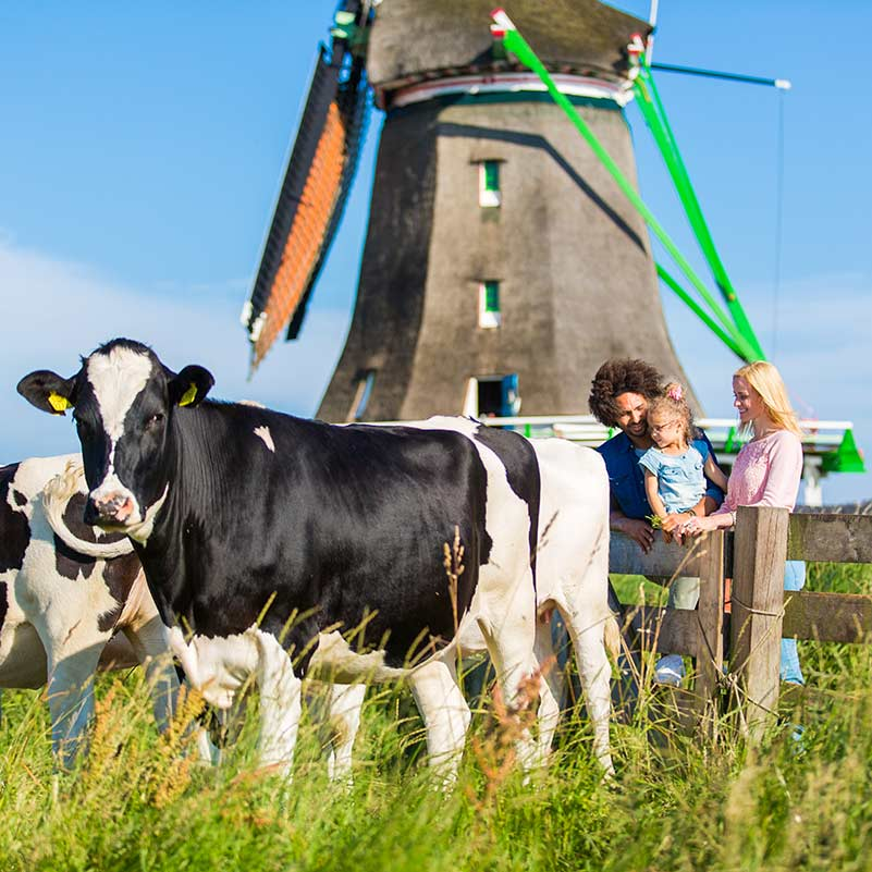A child and two adults standing near a Dutch windmill and a fence watching two black and white cows.